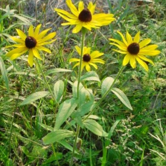 how to grow black eyed susan from seeds indoors