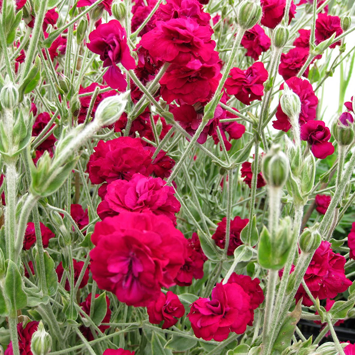Rose Campion - Gardener\'s World | Friends School Plant Sale