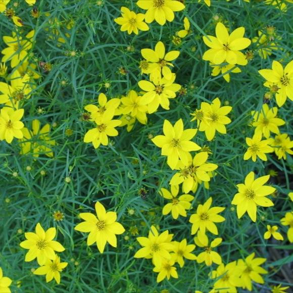 photo by friends school plant sale shopper michelle g thanks michelle - Threadleaf Coreopsis