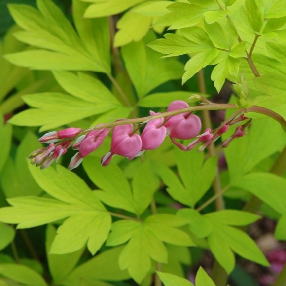 Bleeding heart old fashioned gold heart friends school plant sale pink heart flowers friends school plant sale photo by nancy s mightylinksfo