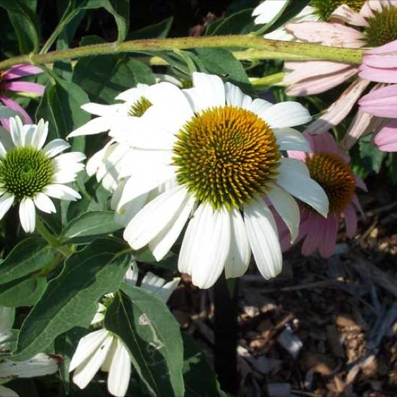 Coneflower white swan friends school plant sale white petalled coneflower with yellow cone photo from missouri botanical garden plant finder mightylinksfo