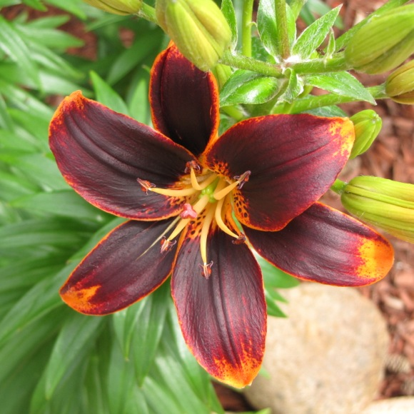lily  asiatic
