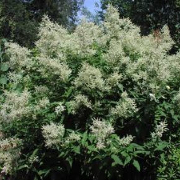 Fleeceflower giant p polymorpha friends school plant sale photo from rush creek growers mightylinksfo