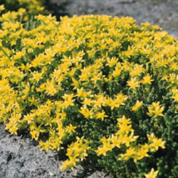 Stonecrop creeping golden carpet friends school plant sale photo from glacial ridge growers mightylinksfo