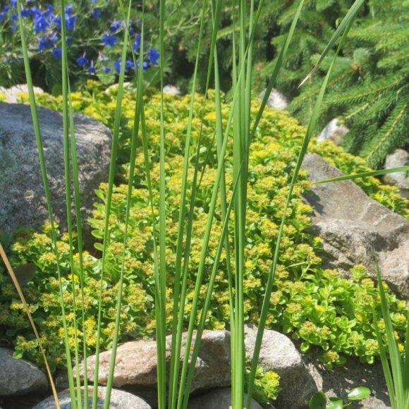 Stonecrop creeping lemon drops friends school plant sale friends school plant sale photo by pat t mightylinksfo