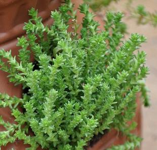 Stonecrop Miniature Hardy Tiny Friends School Plant Sale
