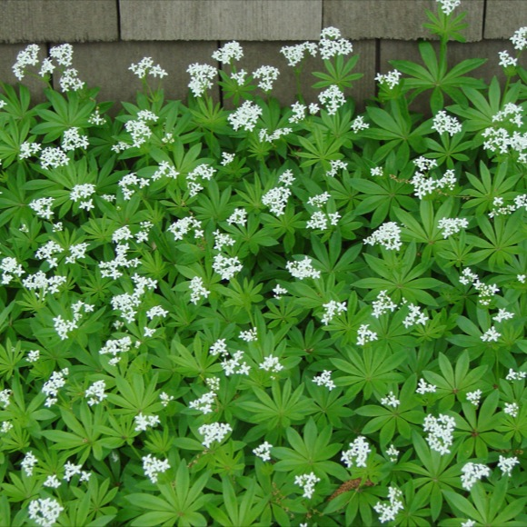 Sweet woodruff g odoratum friends school plant sale gallium woodruff tiny white flowers green leaves mightylinksfo