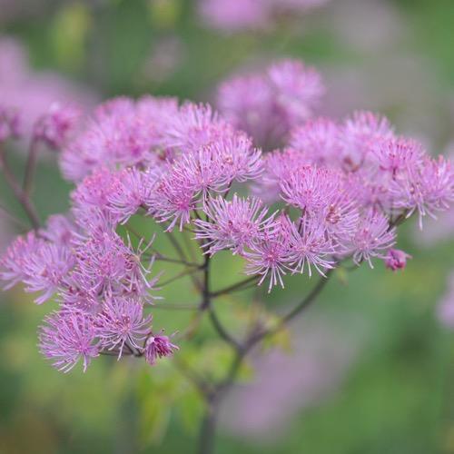 Meadow rue black stockings friends school plant sale for Thalictrum rochebrunianum rhs