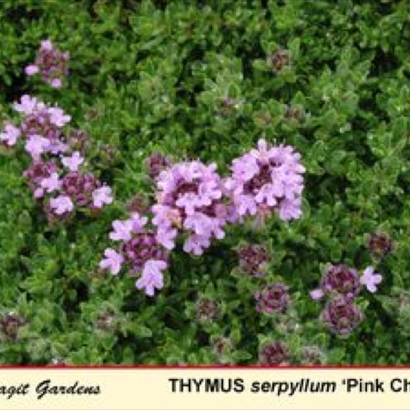 Thyme Creeping Pink Chintz Friends School Plant Sale