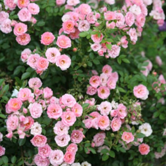 Rose modern shrub oso happy petit pink friends school plant sale photo from proven winners mightylinksfo