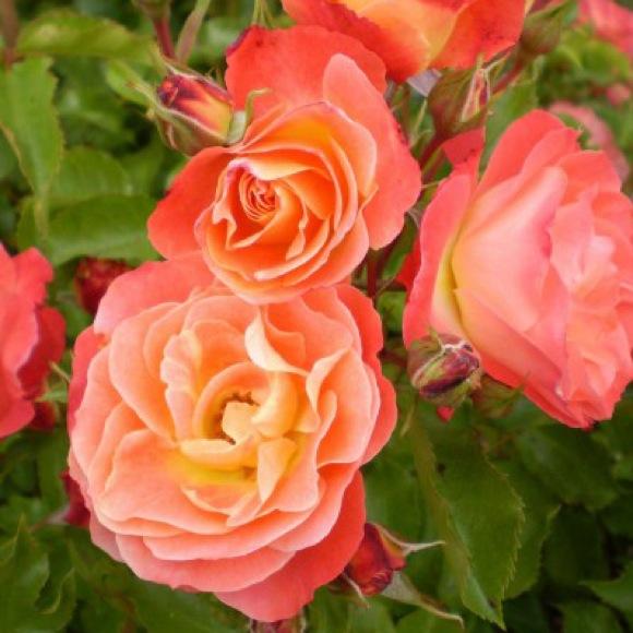 Rose Easy Elegance Shrub Coral Cove Friends School