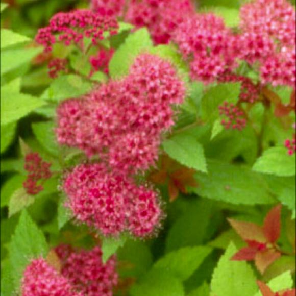 Spirea japanese magic carpet friends school plant sale spirea magic carpet pink flowers photo from bluebird nursery mightylinksfo