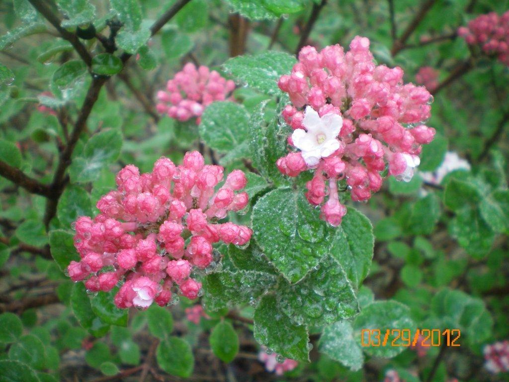 Korean spicebush prairie rose friends school plant sale viburnum carlesii prairie rose buds in dark pink opening to light pink mightylinksfo