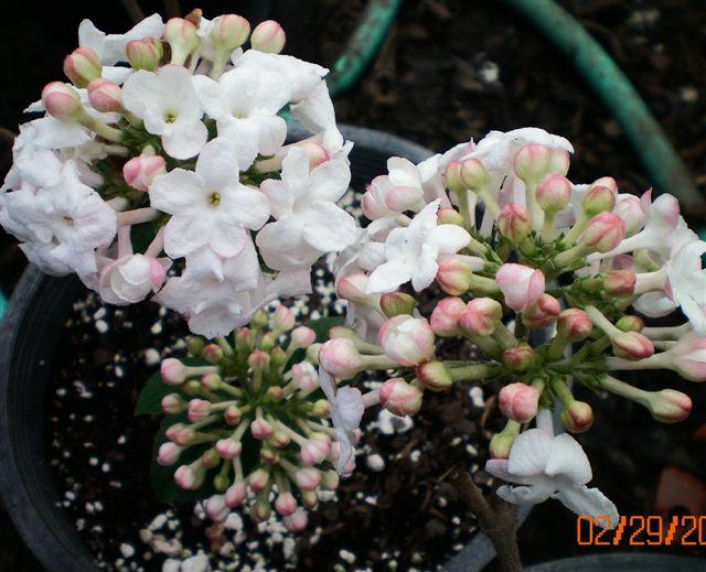 Korean spicebush sweet susan renee friends school plant sale photo courtesy of classic viburnums mightylinksfo