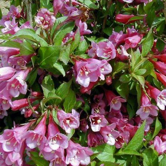 Cardinal bush minuet friends school plant sale weigela minuet pink flowers courtesy missouri botanical garden plantfinder mightylinksfo