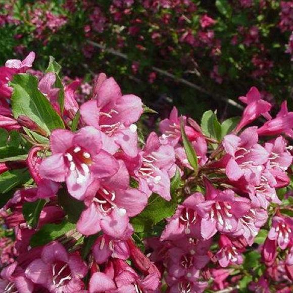 Cardinal bush rumba friends school plant sale Missouri botanical garden plant finder
