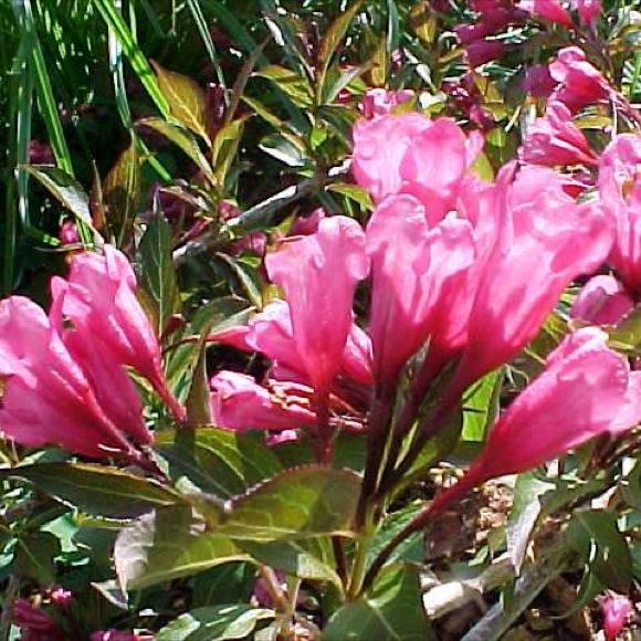Cardinal Bush Wine And Roses Friends School Plant Sale