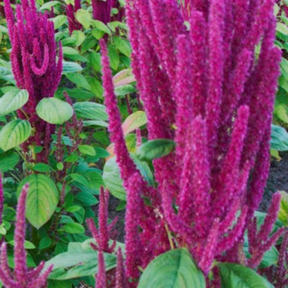 Amaranth lotus purple friends school plant sale for Lotus plant for sale