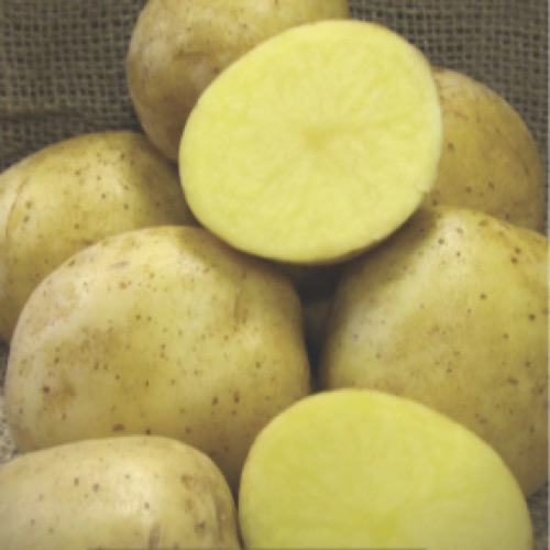 Potato - Oneida Gold