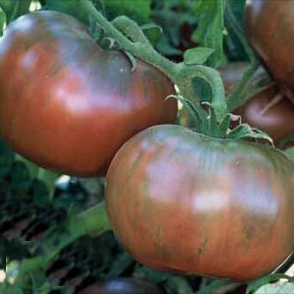 Tomato, Heirloom - Cherokee Purple   Friends School Plant Sale