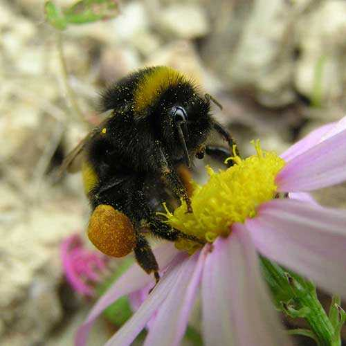 Bumblebee covered in yellow pollen on a pink daisy flower