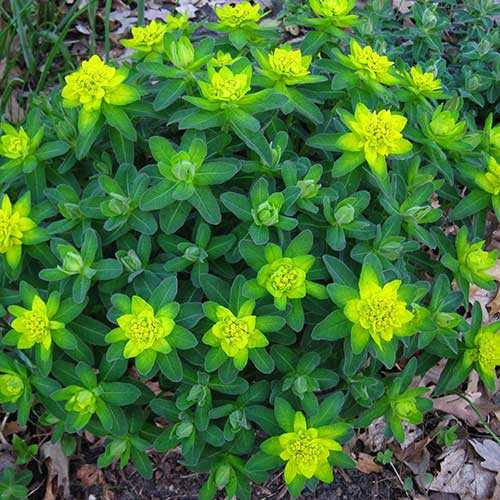 Green plant with intense yellow-green bracts