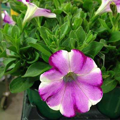 Petunia in dark pink, medium pink, and white.