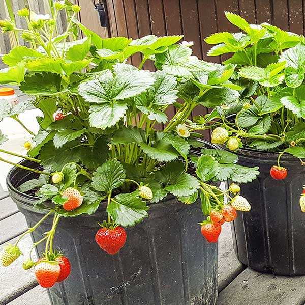 Delizz strawberries on green plants, growing over side of pot
