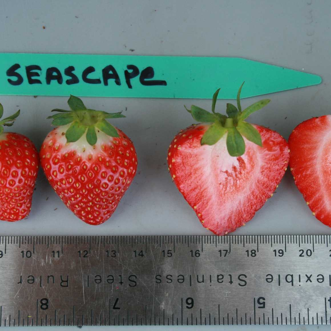 Red Seascape strawberries