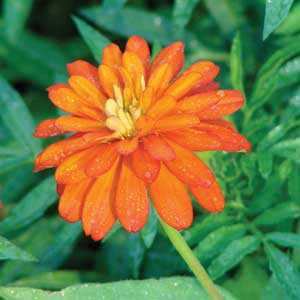The Zinnia Zahara Double Fire is an example of a trademarked name.
