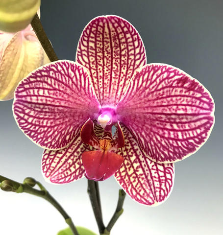 Nonhardy orchid in red and yellow
