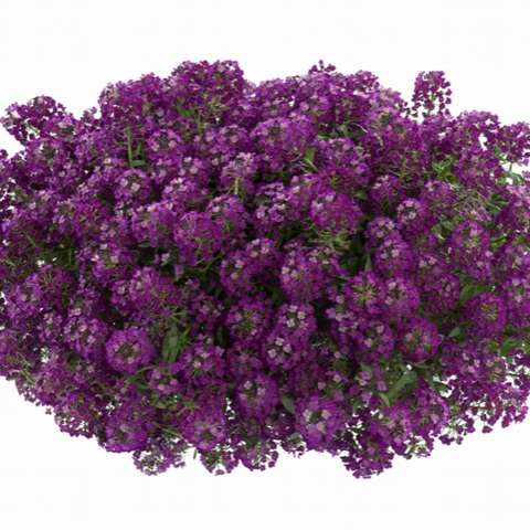 Alyssum Purple Stream, small purple flowers
