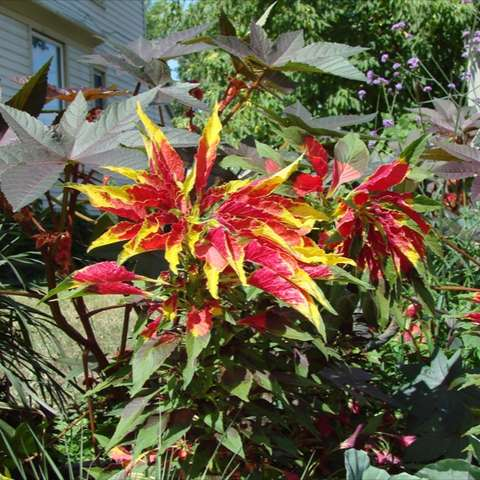 Amaranthus Tricolor, red and yellow leaves, very bright