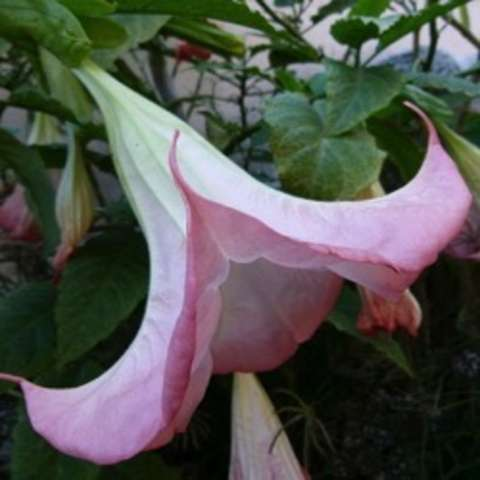 Brugmansia Insignis Pink, large, down-facing light pink trumpet flower