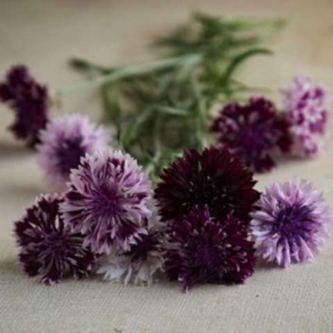 Classic Magic Mix Centaurea, dark purple and light lavender bachelor buttons