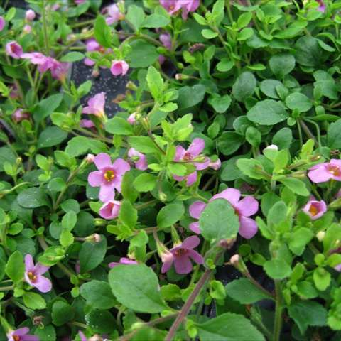 Bacopa Great Dark Pink, many small pink flowers
