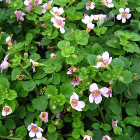Bacopa Great Pink Ring, many small light pink floers with darker center