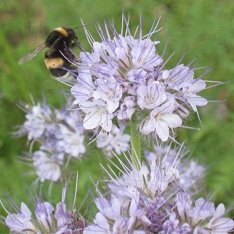 Phacelia tanacetifolia, light lavender-blue clusters of flowers and a bee!