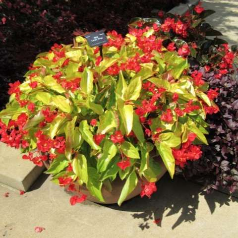 Canary Wings begonia, yellow green long leaves, red flowers