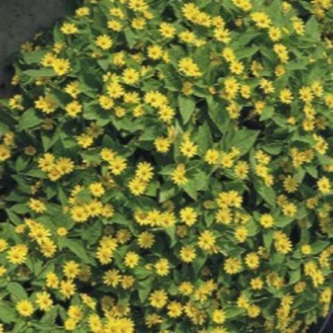 Melampodium Showstar, small yellow-yellow daisies