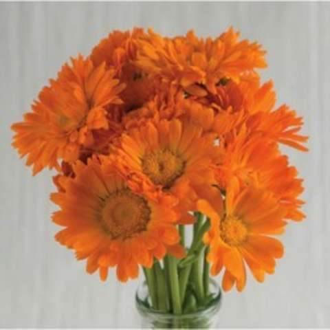 Calendula Alpha, orange daisies with wide centers and many petals