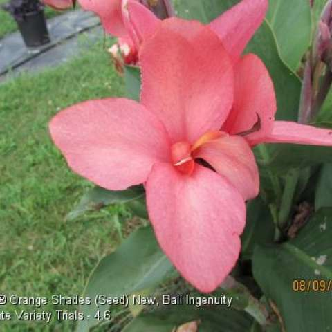 Canna Cannova Orange Shades, flowers with salmon pink petals