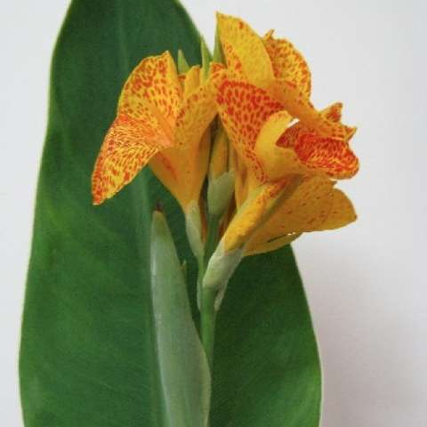Canna Elite Starship, yellow and orange flowers, green leaves