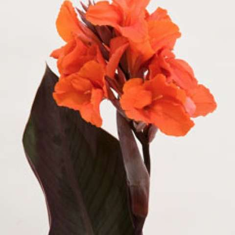 Canna Orange Chocolate, very dark leaves and orange-red flowers