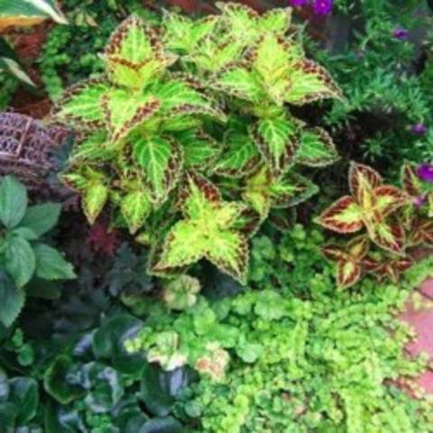 Coleus Bonnie Gold, yellow-green pointed leaves with dark edges