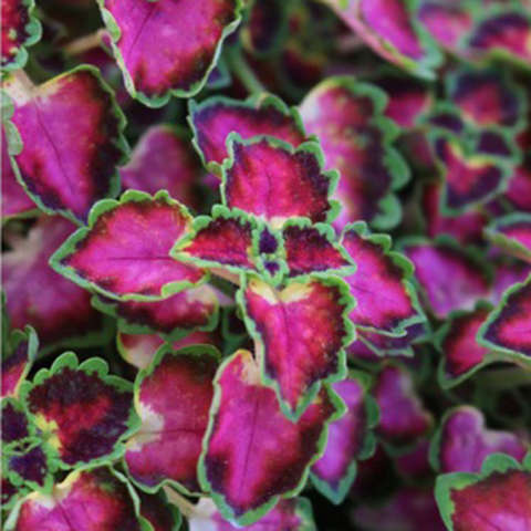 Coleus Great Falls Angel, magenta, light green and dark purple leaves