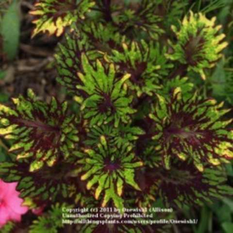 Coleus Kingswood Carnival, yellow, yellow-green with maroon edges, very frilly