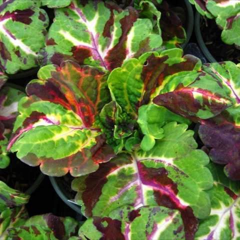 Coleus 'Kong Mosaic' green leaves with splotches of yellow and red