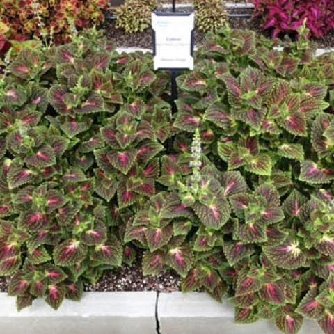 Coleus Mainstreet La Rambla, multicolored quilted leaves in white, pink and green
