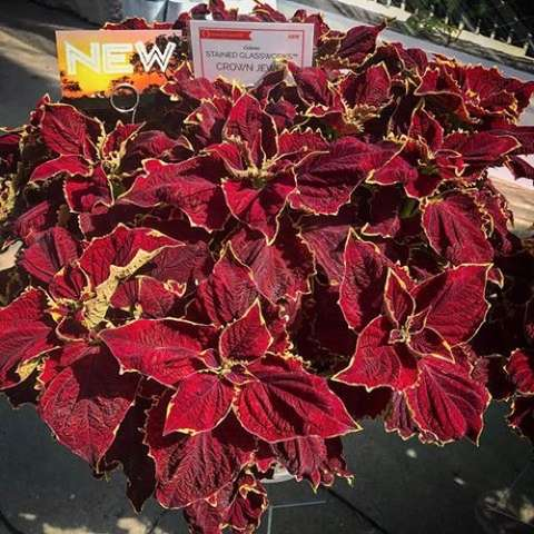 Coleus Stained Glassworks Crown Jewel, very red leaves with slight yellow-green edge